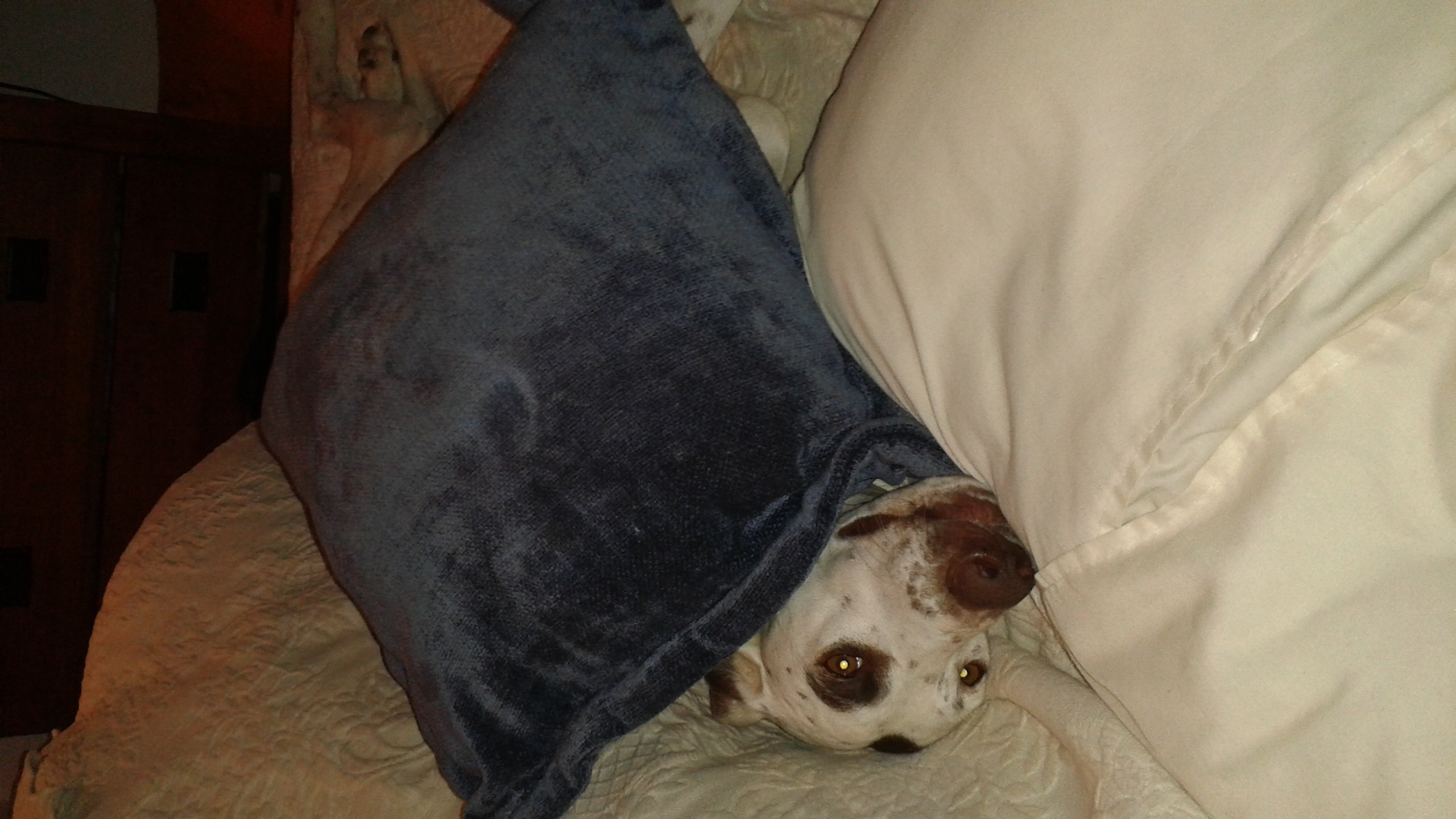 Dog Hannah under pillows